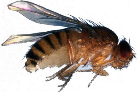 Муха Drosophila Melanogaster